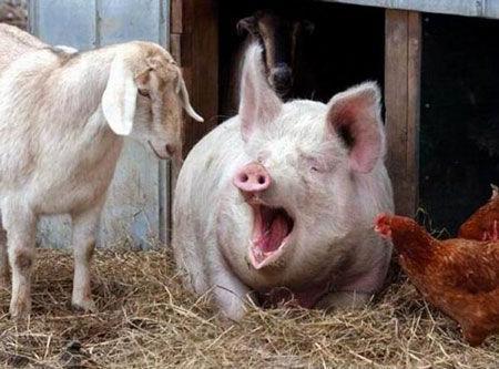 猪的驱虫效果 猪寄生虫病 视频兽医网论坛 执业兽医师 -掌握5大要点 图片
