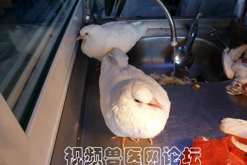 的,排绿色水样粪便的.幼鸽已经 带来几只剖检如下.  典型新城疫图片